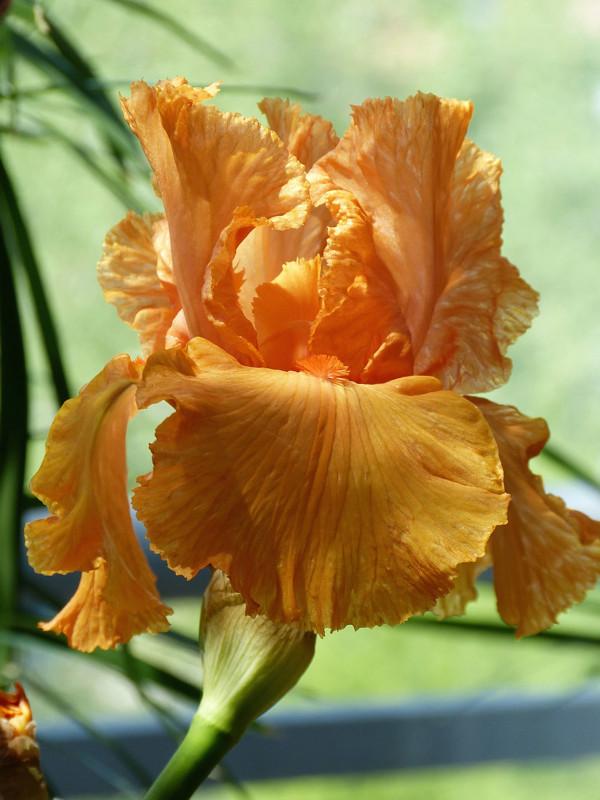 Schwertliliengewächse: Iris, Tigrida, Ixia, Sparaxis, Crocus, Freesia, Montbretie u.v.m. - Seite 14 Magica10