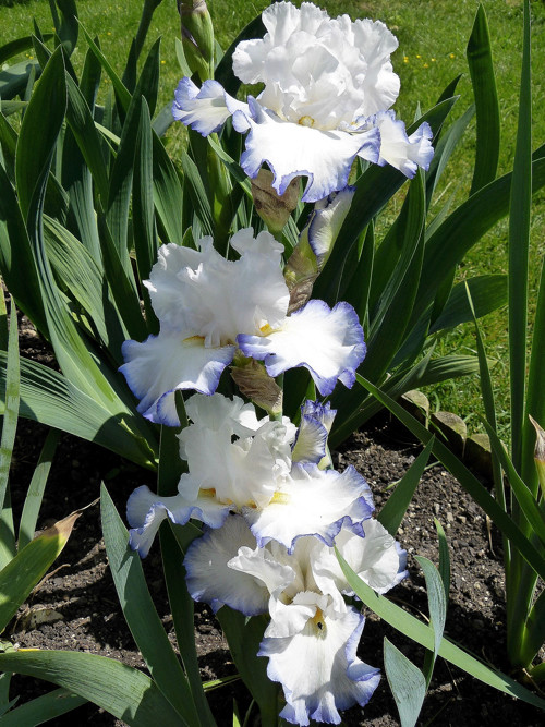 Schwertliliengewächse: Iris, Tigrida, Ixia, Sparaxis, Crocus, Freesia, Montbretie u.v.m. - Seite 14 Queenc10