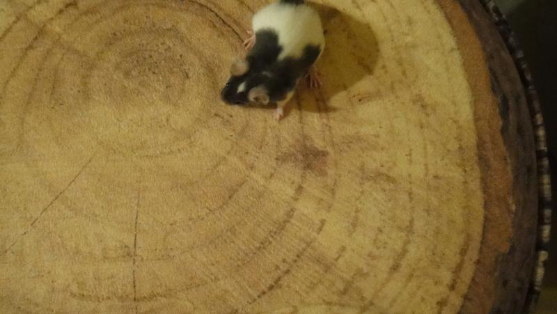 PLZ 38... Mäusegeschwister suchen neue Bleibe Dsc06018
