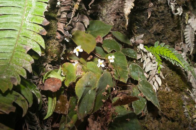 Begonia speculum Begon100