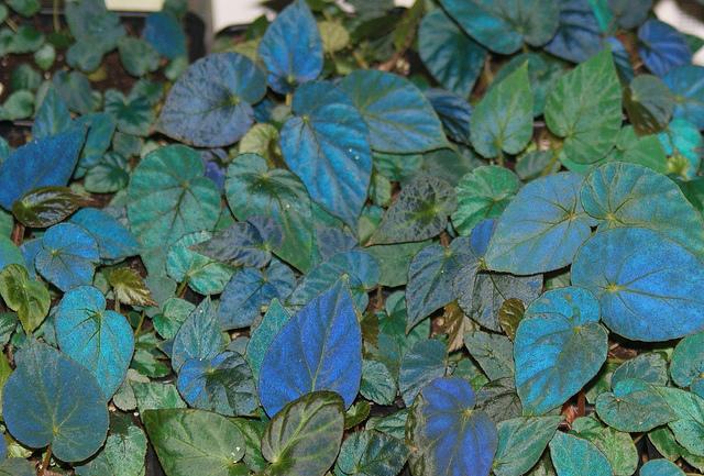 Le secret des bégonias à feuilles bleues est peut-être percé Begoni10