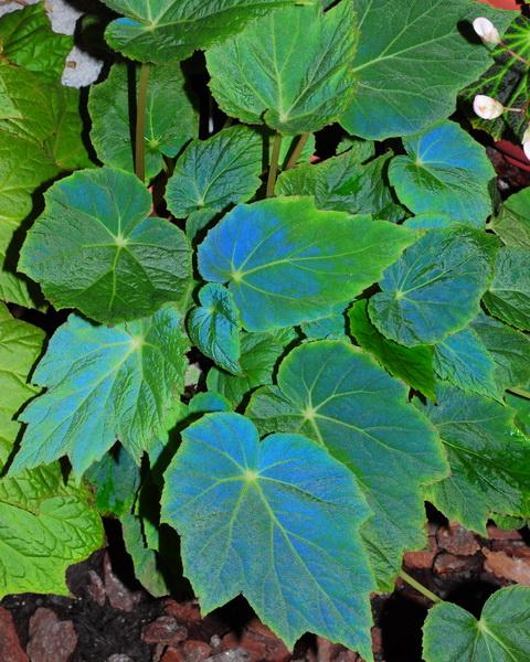 Le secret des bégonias à feuilles bleues est peut-être percé Begoni12