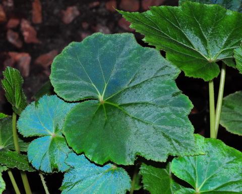 Le secret des bégonias à feuilles bleues est peut-être percé Begoni13