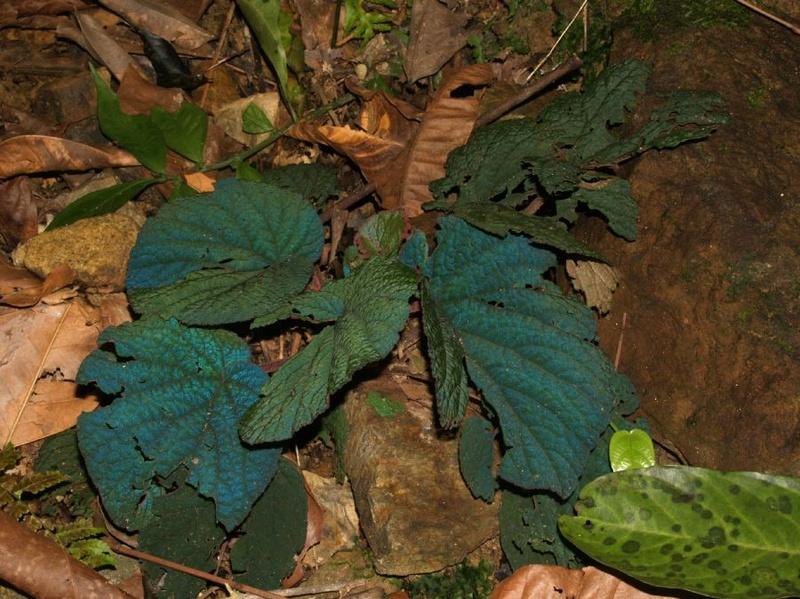 Le secret des bégonias à feuilles bleues est peut-être percé Begoni14