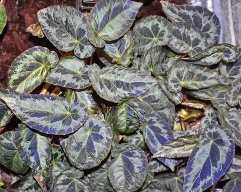 Le secret des bégonias à feuilles bleues est peut-être percé Begoni17