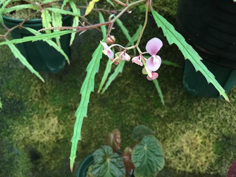 Begonia Henrilaportei Scherber. & J. Duruisseau Begoni21