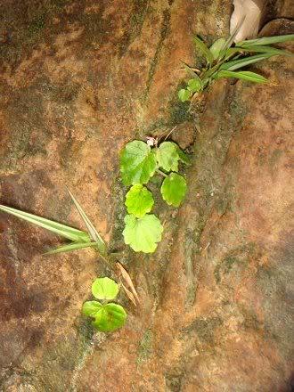 Begonia sinuata Begoni23