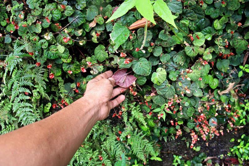 Begonia sinuata Begoni26