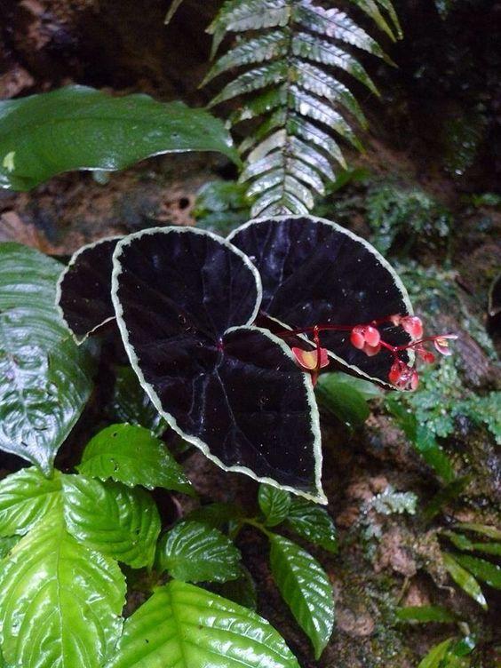 La face obscure du Begonia Begoni27