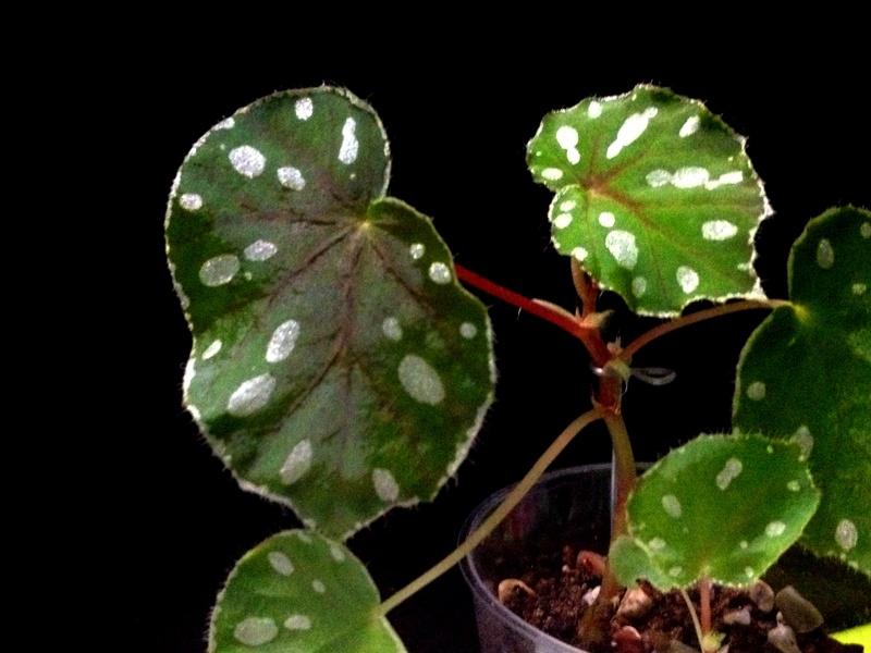 Begonia Jiewhoei Begoni30
