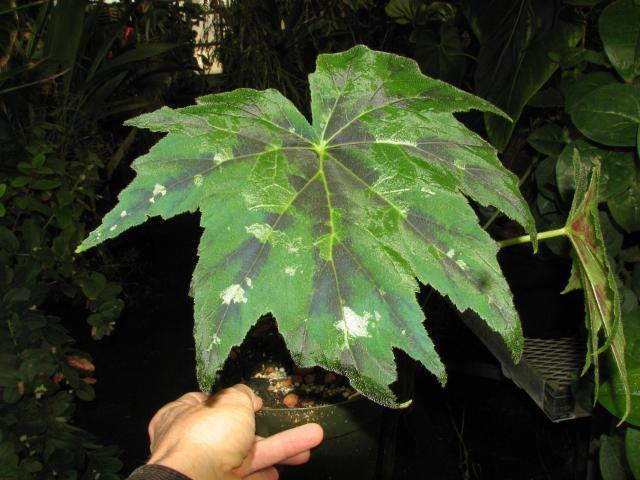 Begonia Taliensis Begoni33