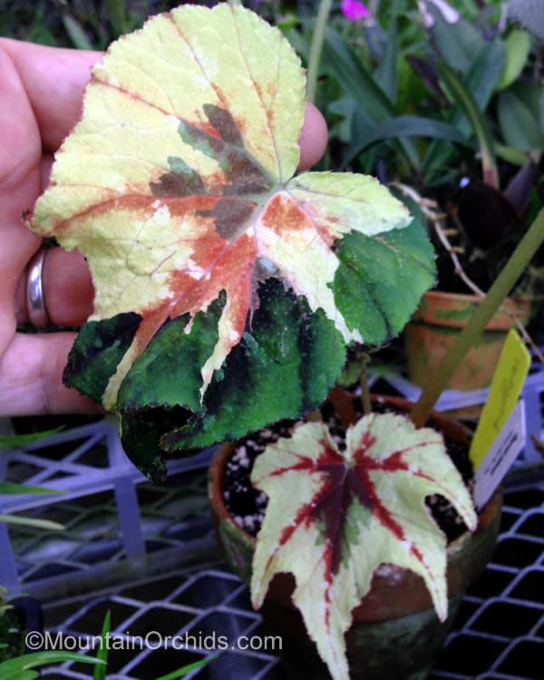 Begonia Taliensis Begoni34