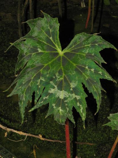 Begonia Taliensis Begoni35