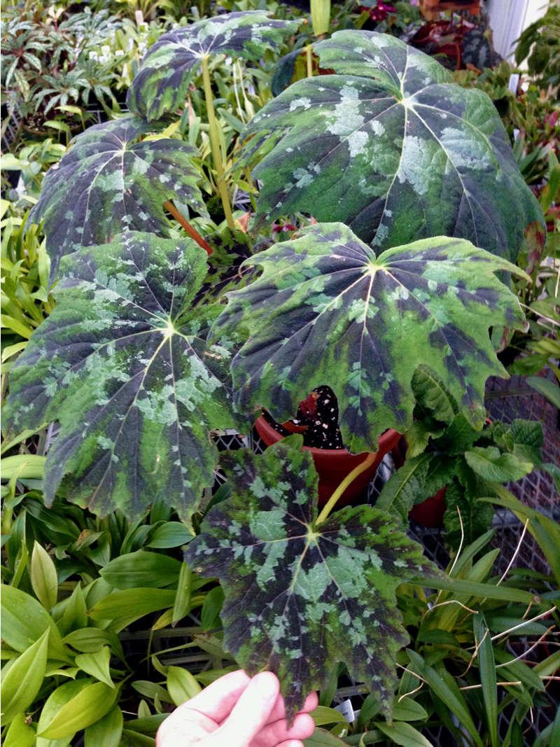 Begonia Taliensis Begoni37