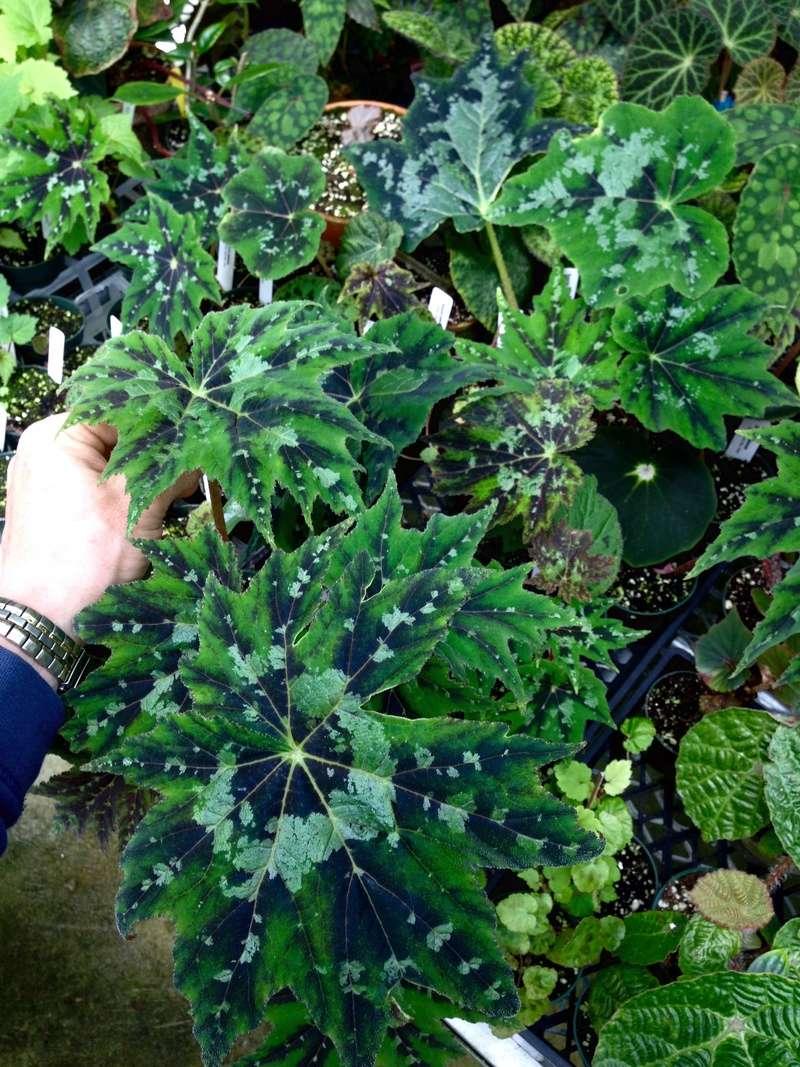 Begonia Taliensis Begoni38