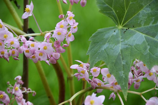 Begonia Taliensis Begoni39