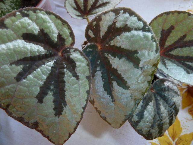 Begonia lantenaria Begoni41