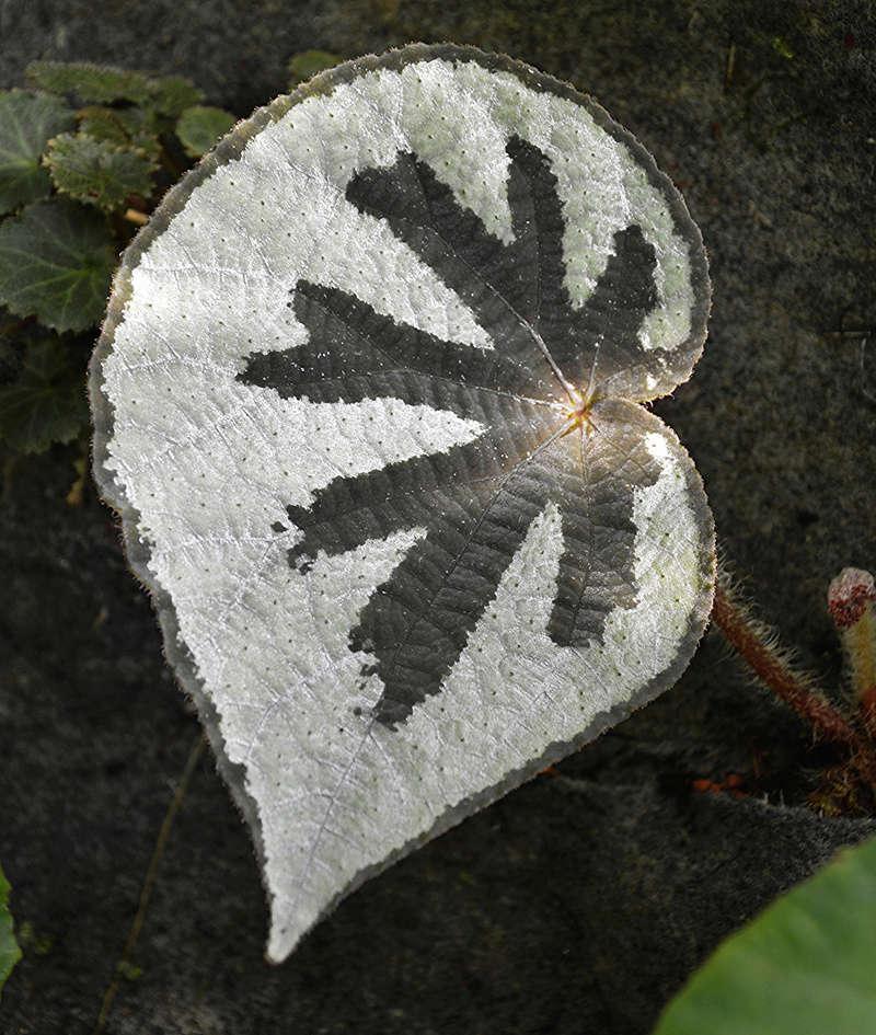 Begonia lantenaria Begoni42