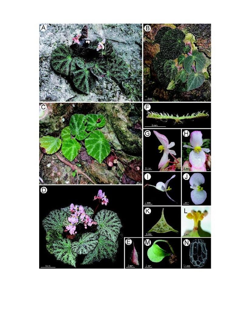 Begonia Ningmingensis var. Ningmingensis Begoni45