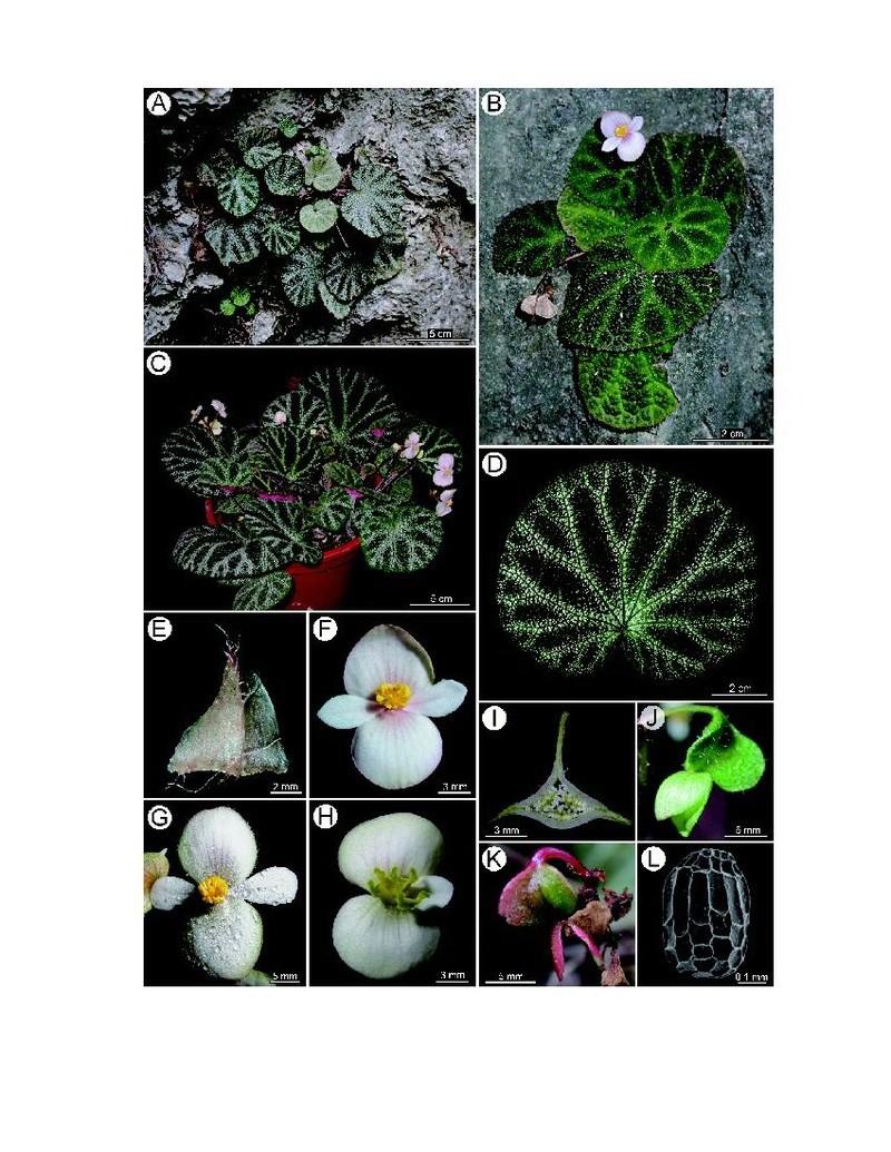Begonia Ningmingensis var. bella Begoni46