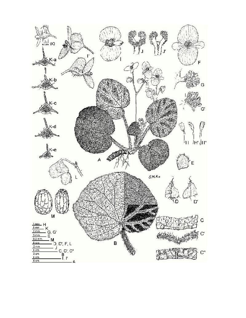 Begonia Ningmingensis var. bella Begoni47