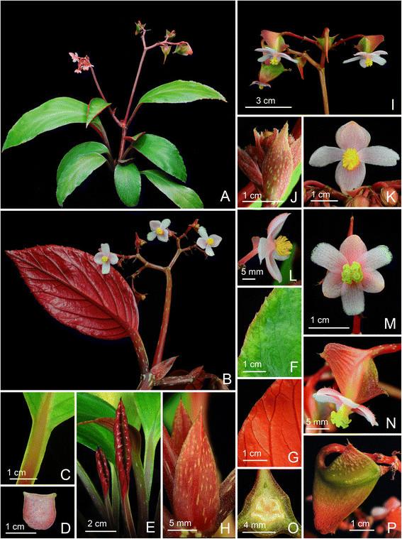Begonia Caobangensis Begoni52