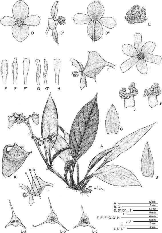 Begonia Caobangensis Begoni53