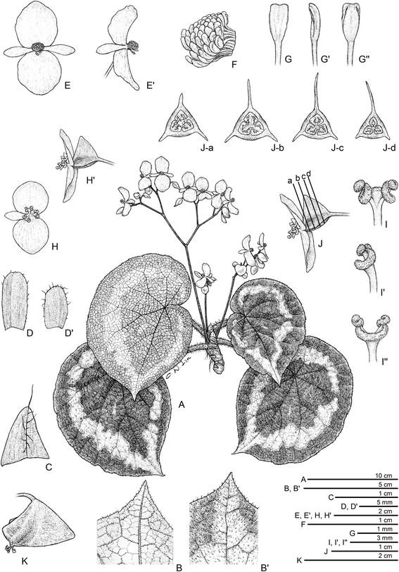 Begonia circularis Begoni54