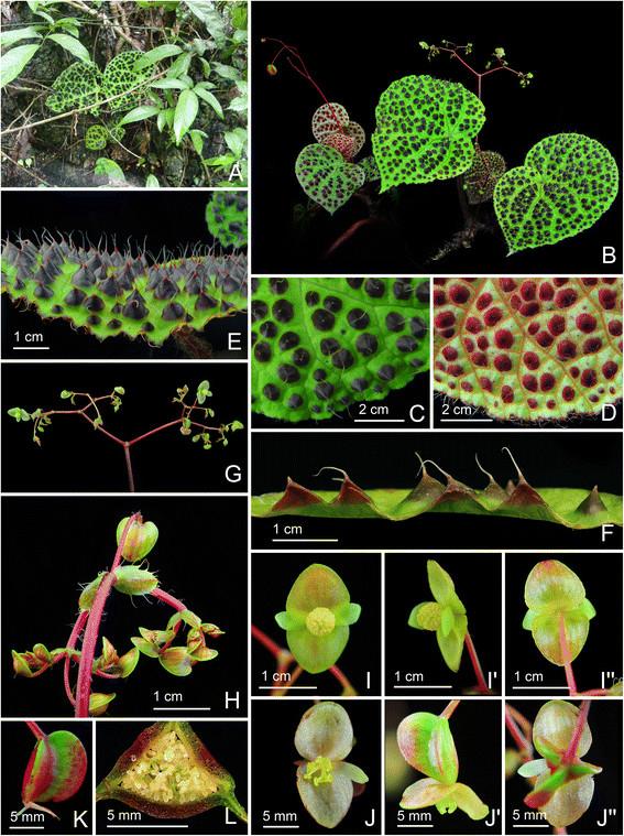 Begonia melanobullata Begoni56