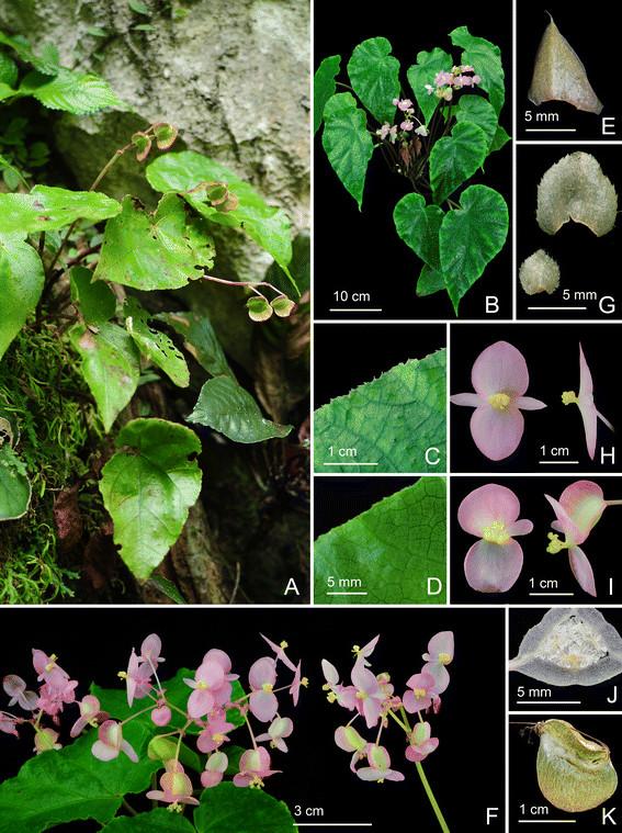 Begonia Langsonensis Begoni58