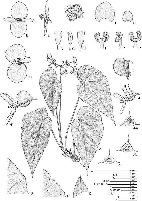 Begonia Langsonensis Begoni59