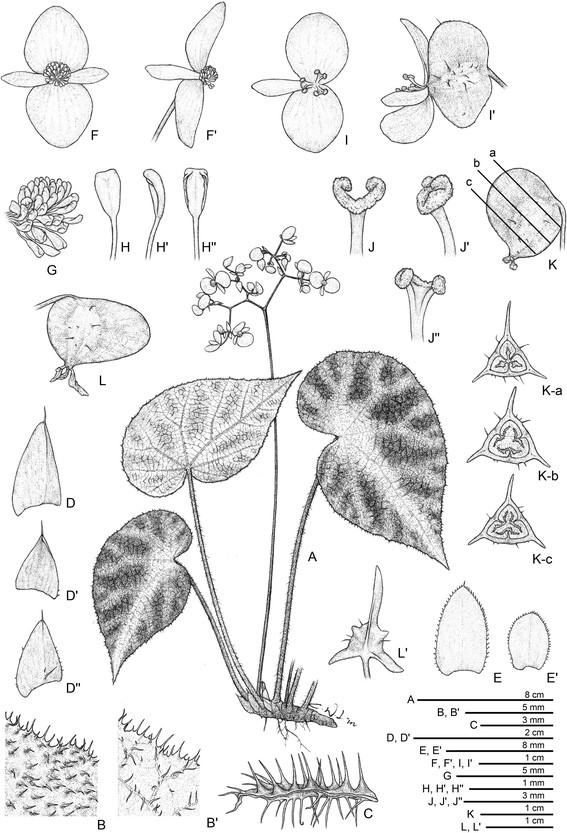 Begonia Locii  Begoni60