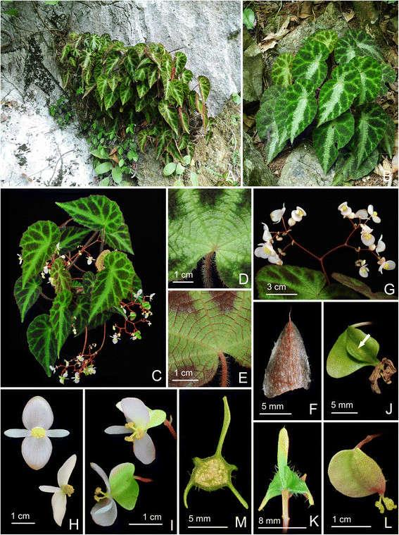 Begonia Locii  Begoni61
