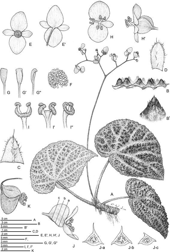Begonia montaniformis Begoni62