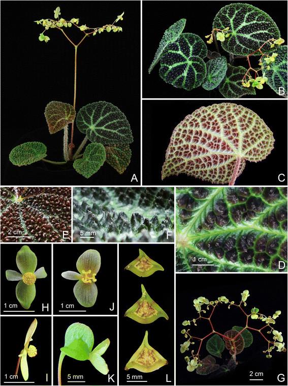 Begonia montaniformis Begoni63