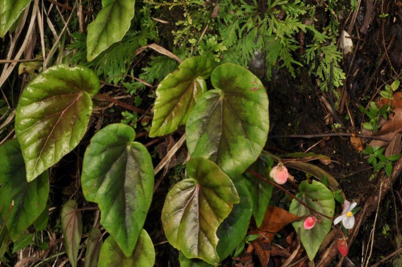 Begonia neopurpurea Begoni77