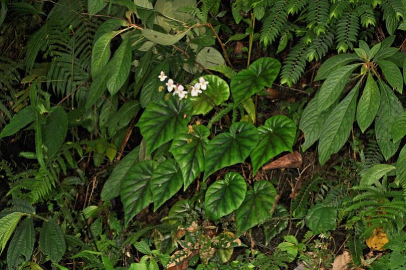 Begonia neopurpurea Begoni78