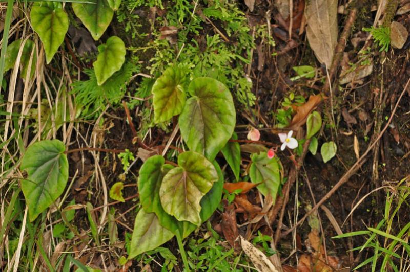 Begonia neopurpurea Begoni79