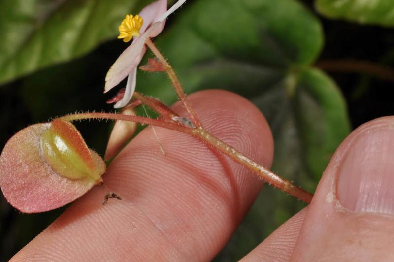 Begonia neopurpurea Begoni85