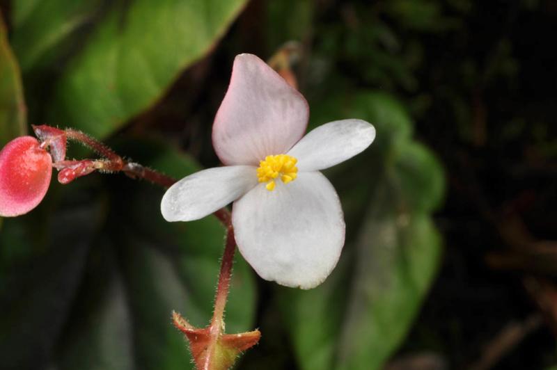 Begonia neopurpurea Begoni86
