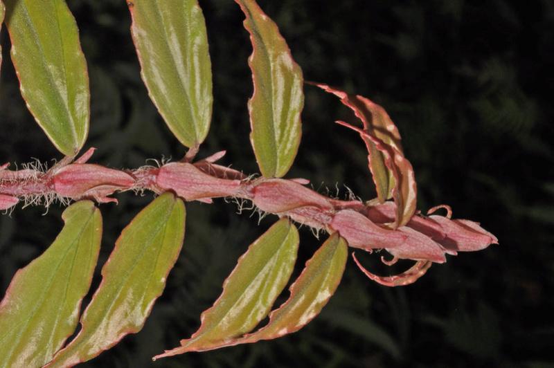 Begonia neopurpurea Begoni92