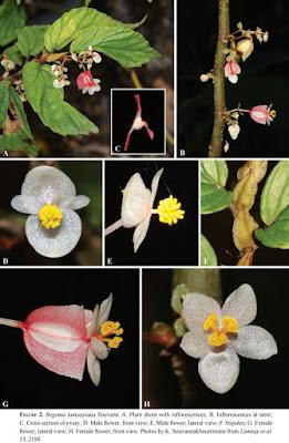 Begonia lamxayiana Begoni96