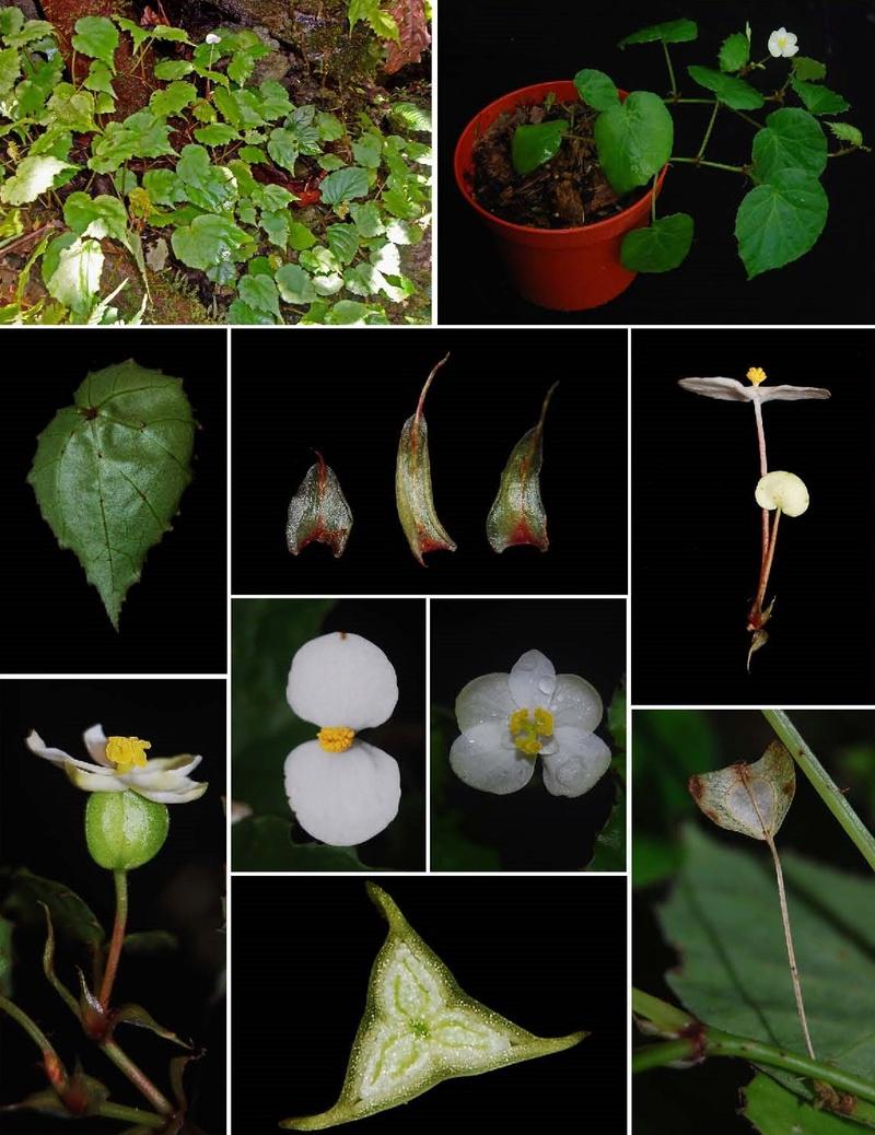 Begonia manuselaensis Begoni97