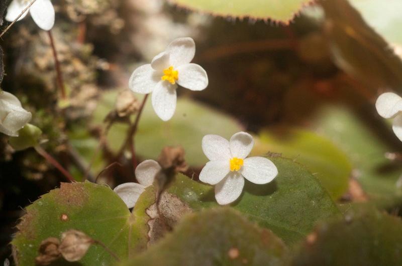 Begonia speculum Begoni99