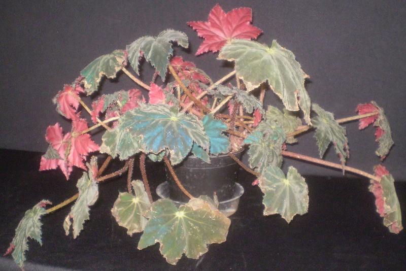 Le secret des bégonias à feuilles bleues est peut-être percé Coffee10