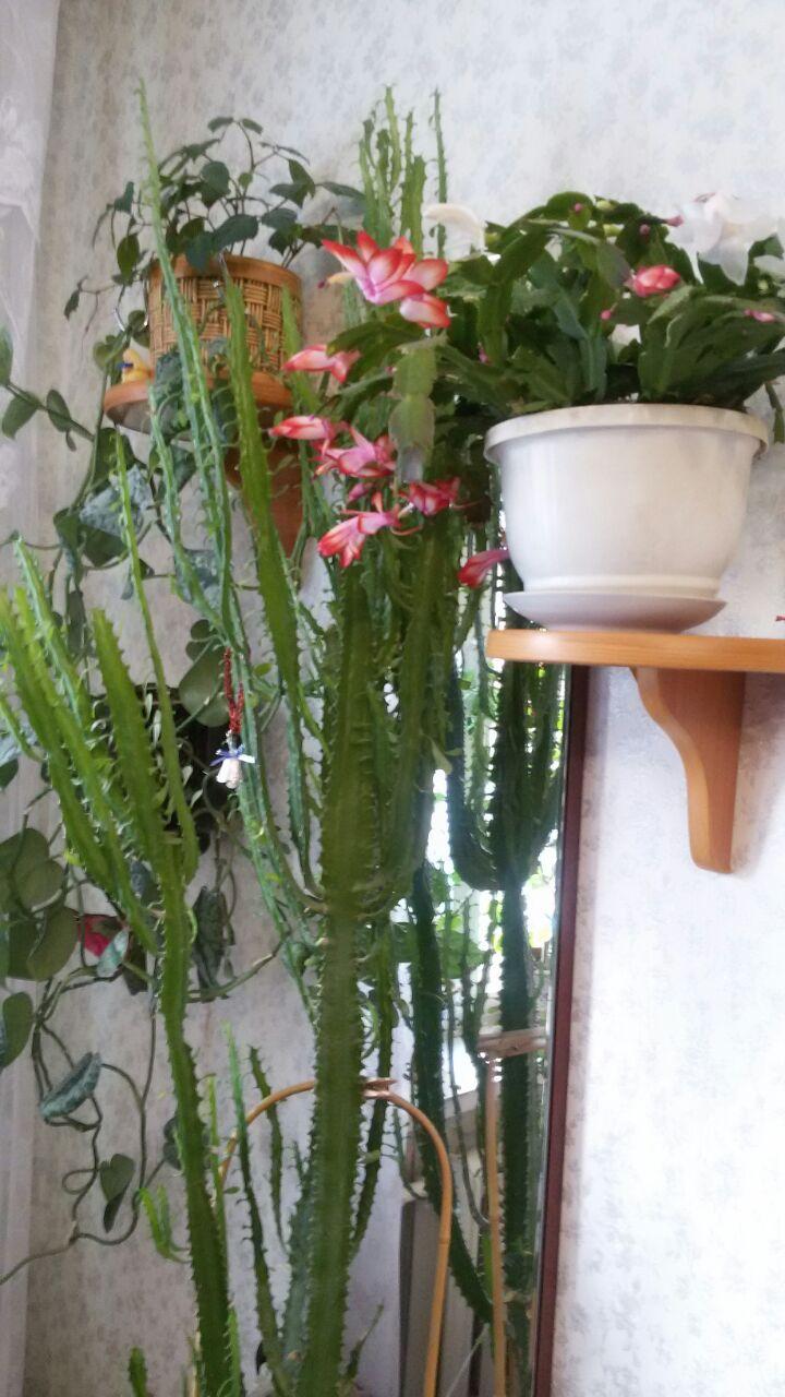 cactus de Noel Img-2010