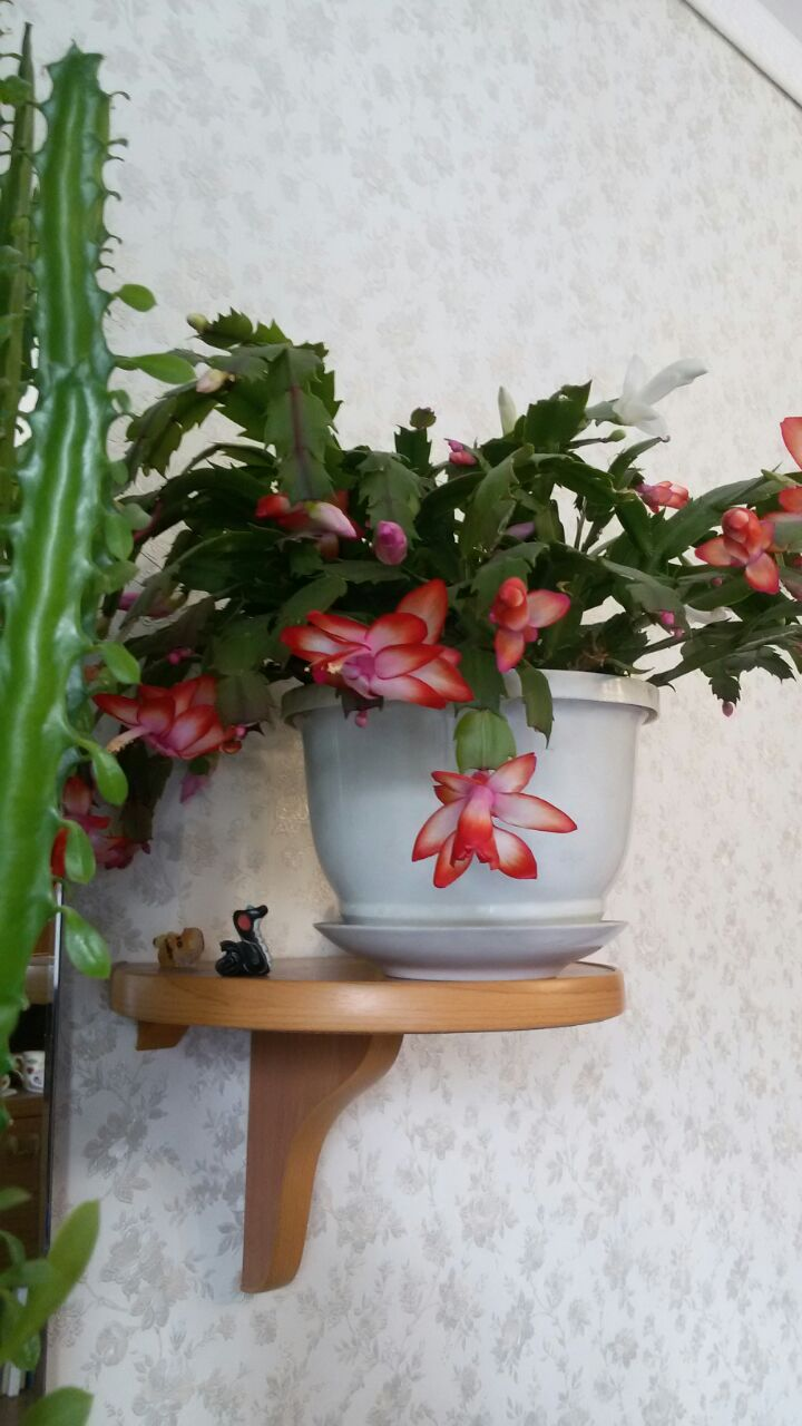 cactus de Noel Img-2011