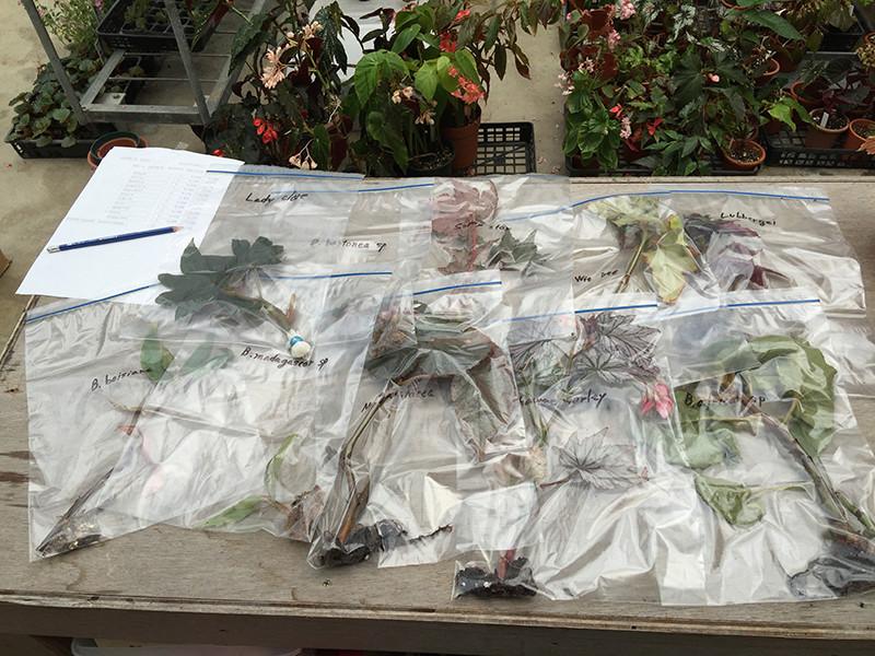 La face obscure du Begonia Konpou10