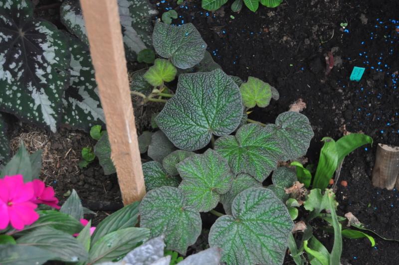 Begonia 'Boomer' (tige forte) Octobr11