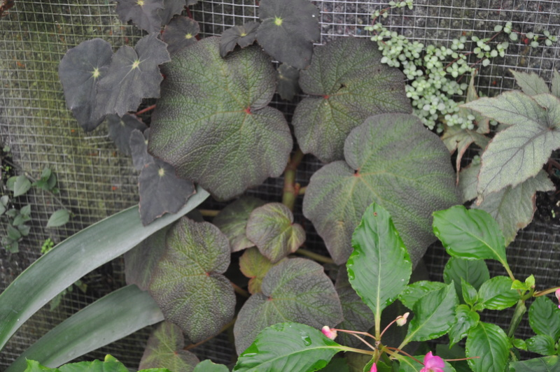 Begonia 'Boomer' (tige forte) Octobr12